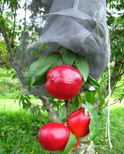 Fruit cage netting comes in knotless and extruded poly netting